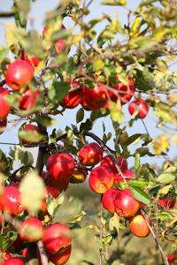 Pommes © Samuel Dhote
